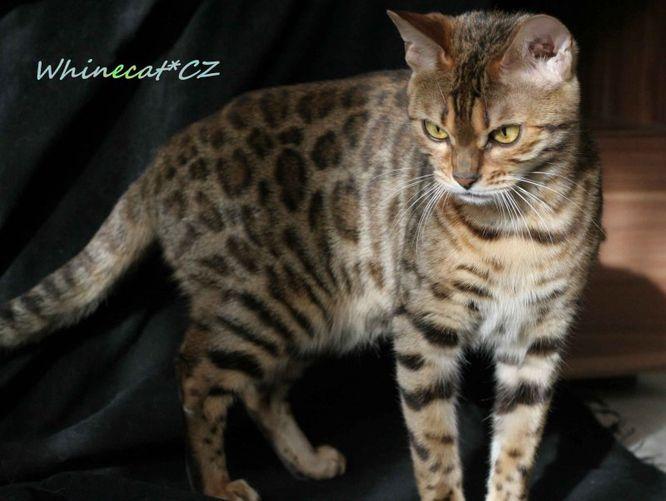 Krátka srsť bengálskej mačky si nevyžaduje žiadnu špeciálnu starostlivosť 548ea921148