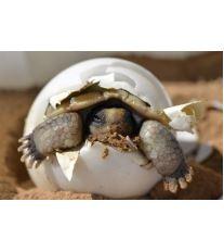 Rozmnožování suchozemských želv