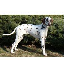 Dalmatínský pes