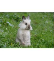 Vyberte si vhodné plemeno zakrslého králíčka