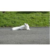 Perzská mačka