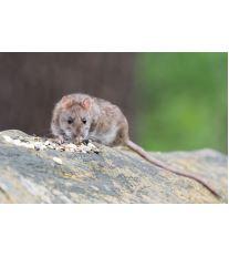 Prečo si zaobstarať myš alebo potkana ako domáce zvieratko?