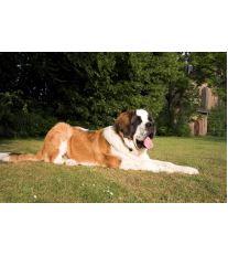 Torze žaludku u psů