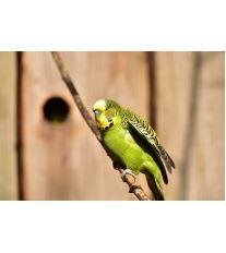 Zastřihávání křídel andulek a papoušků