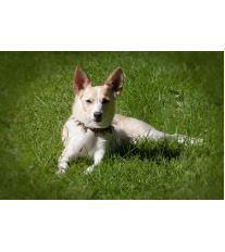 Ako správne vyčistiť uši psovi?