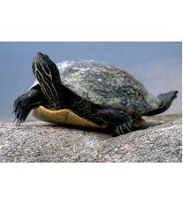 Potřebují mít vodní želvy v terárku i souš?