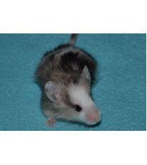 Chov krmných myší