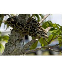 Had s nejkrásnějším vzorováním