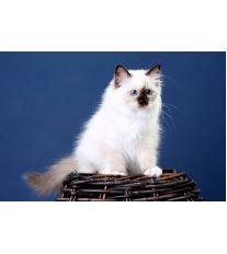 Birma - posvátná kočka z Barmy
