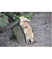 Zakrslý králík a sport