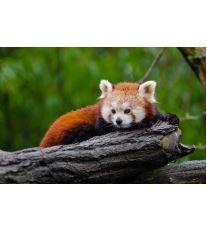 Zaujímavá panda červená