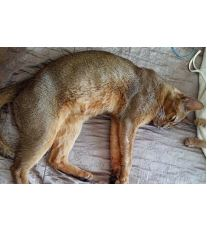 Abesínska mačka (Habešská mačka)