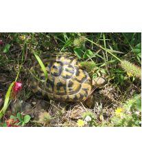 Zimní spánek suchozemské želvy