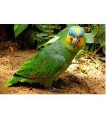 Co vám o papouškovi řekne jeho peří?