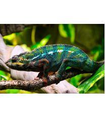 Ako sa starať o chameleóna?