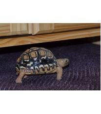 Chov suchozemské želvy - Kde pořídit a za jakou cenu