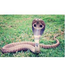 Nejjedovatější hadi světa