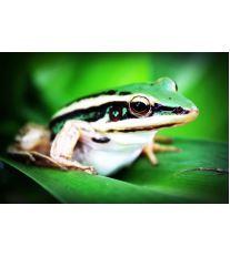 Chov exotických žab - Rozmnožování