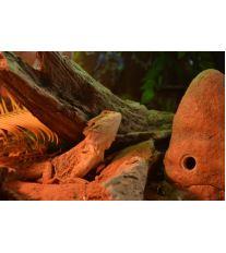Agama vousatá – Krmení