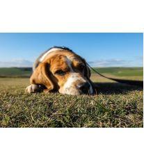 Jaké vnitřní parazity může mít váš pes?