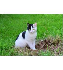 Škrkavka kočičí – u kočky